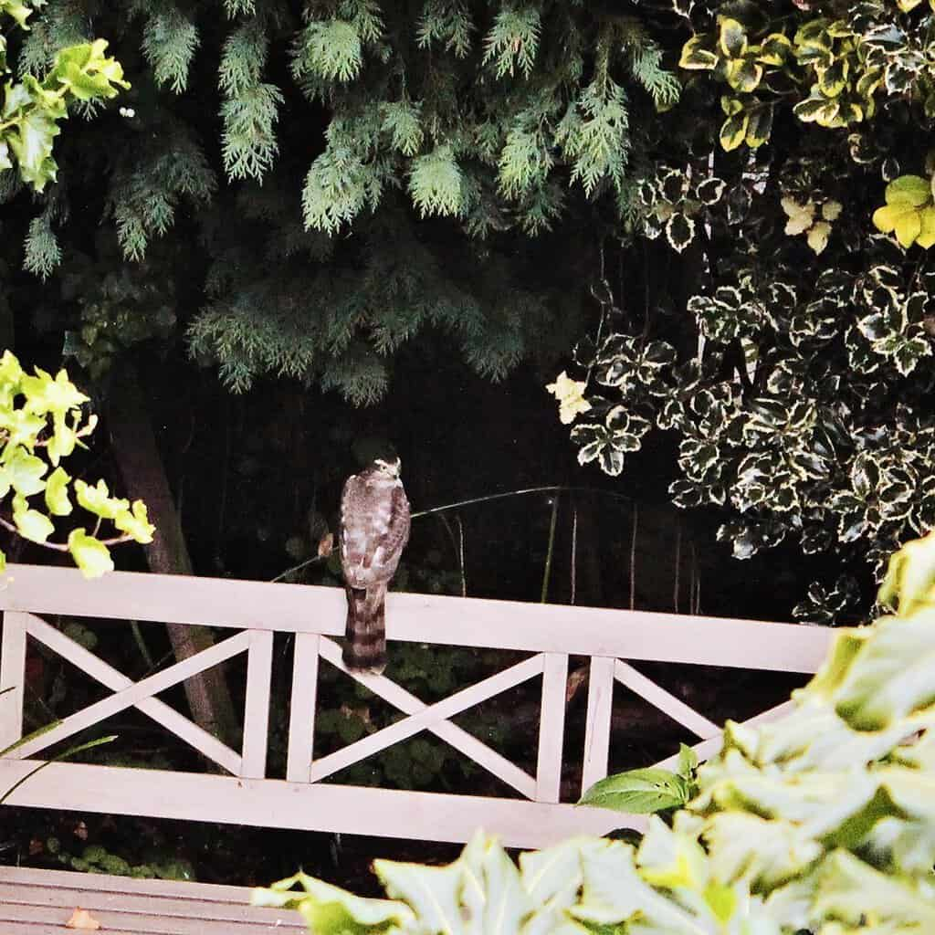 sparrowhawk perched on a garden bench under a leafy canopy