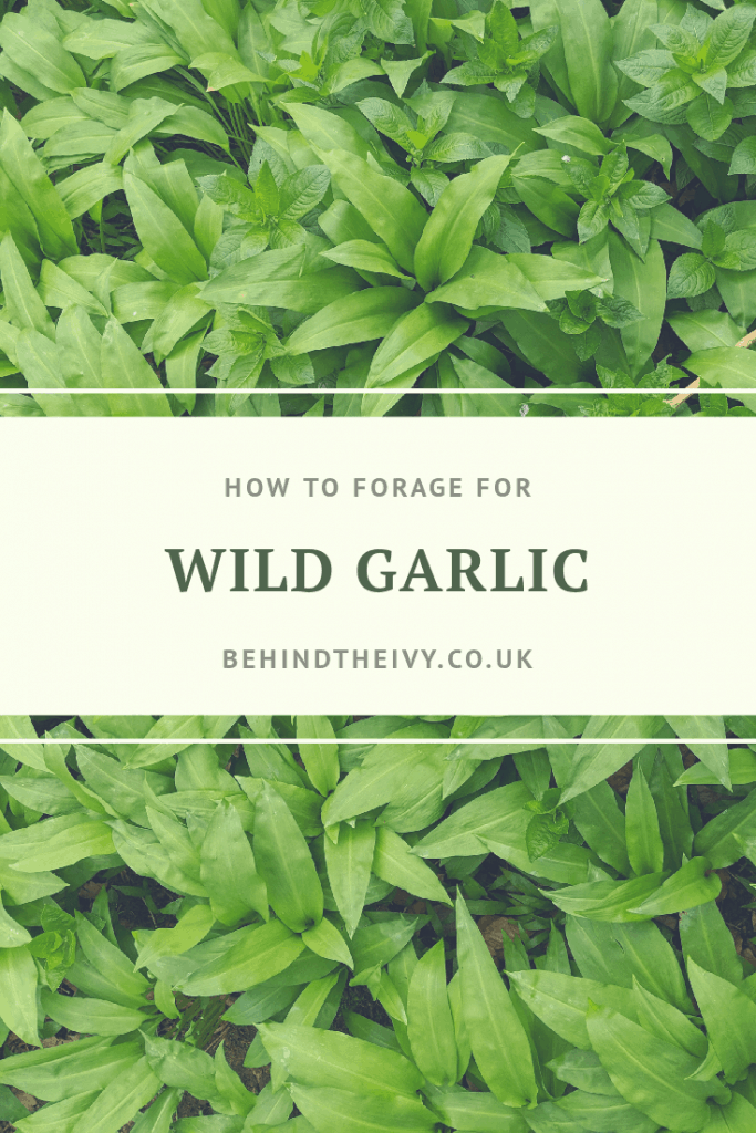 how to forage for wild garlic