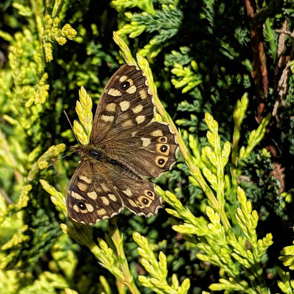 speckled wood butterfly resting in the sun