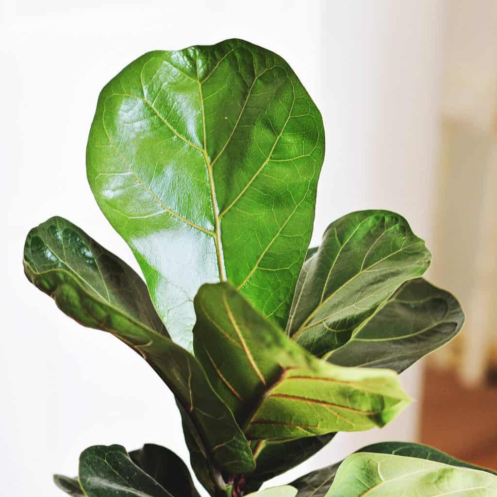 fiddle leaf fig houseplant